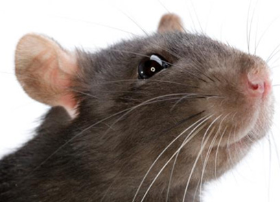 Read once about an experiment on lab rats